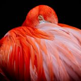 Flamingo-copy